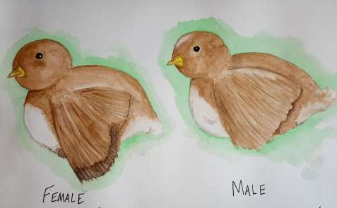 Sketch of 2 chicks with differences pointed out in their wing feathers on how to sex chickens