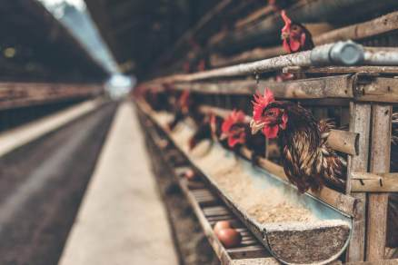 chickens in cages at egg factory