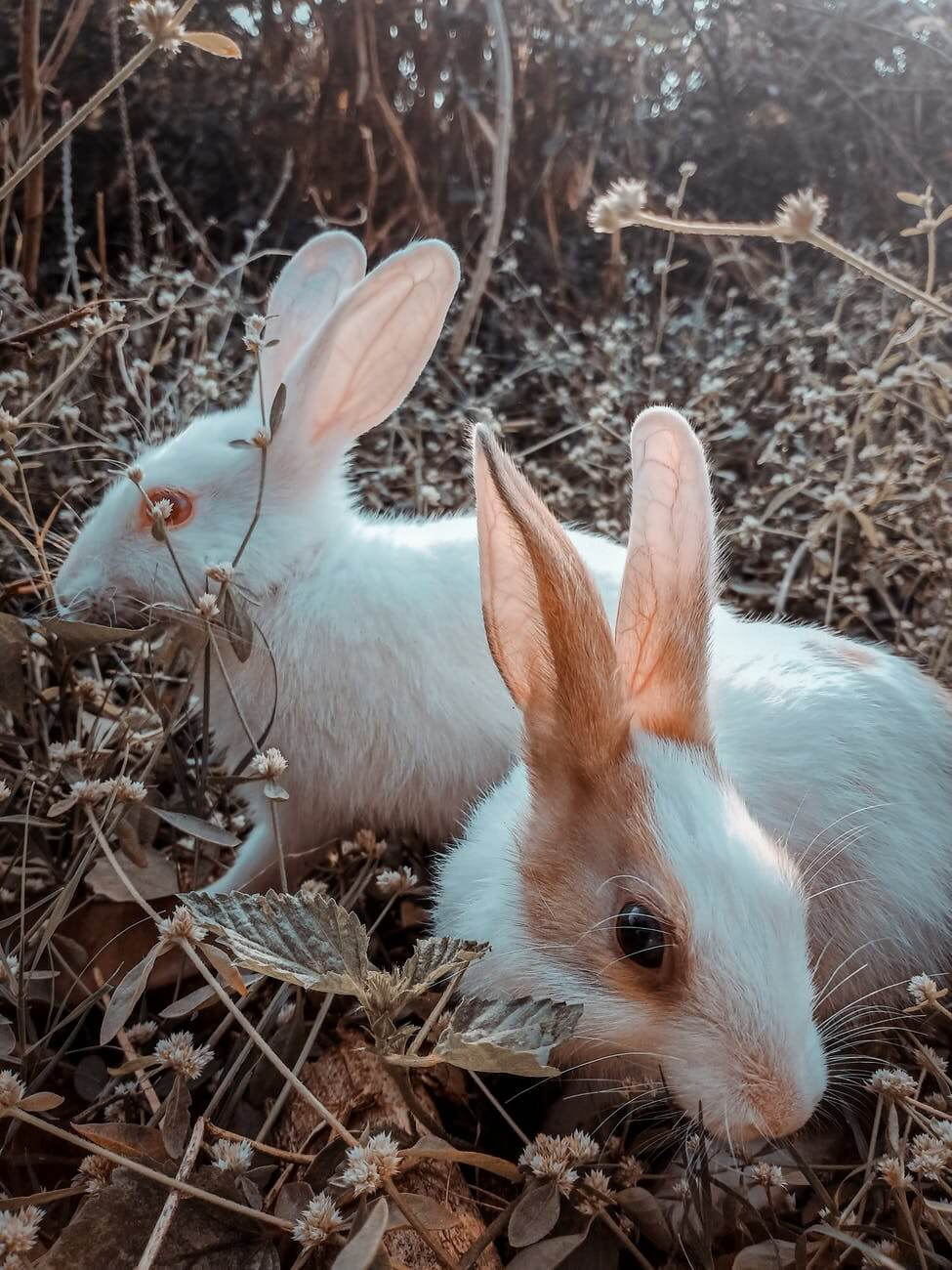 rabbits on brown grass