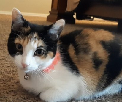 young calico cat on the floor