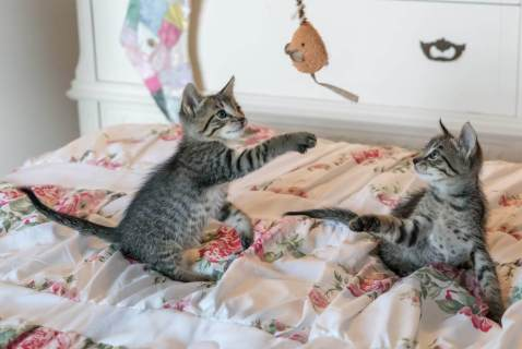 tabby kittens playing on floral comforter
