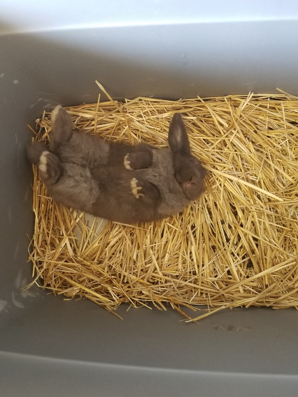 young gray lop eared bunny in box with hay
