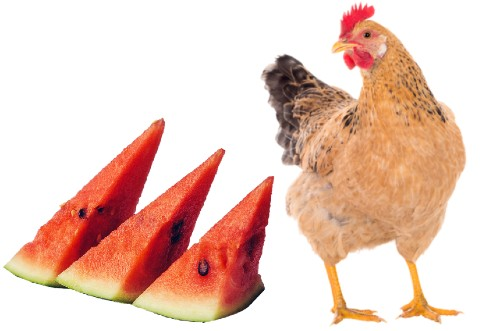 5 Amazing Reasons: Can Chickens Eat Watermelon?