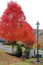 Orange Tree, Lamp Post