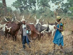 Herdsmen reveal next line of action in the Benue anti-open grazing law