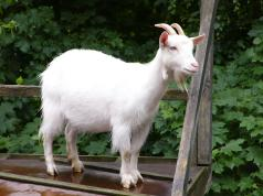 15-year-old boy caught having sex with goat
