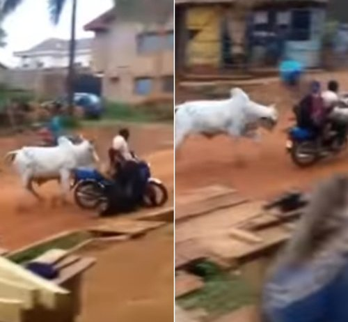 Terrifying moment a cow attacked a woman on a motorbike - Watch video