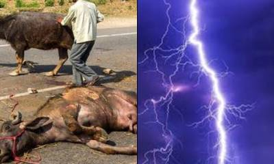Latest News: Deafening Thunder Strikes 23 Cows Dead in Ekiti State