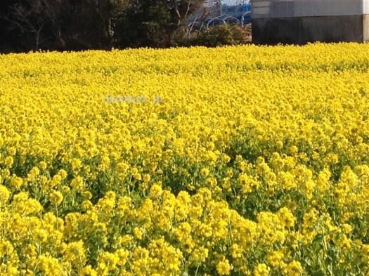 田原菜の花まつり