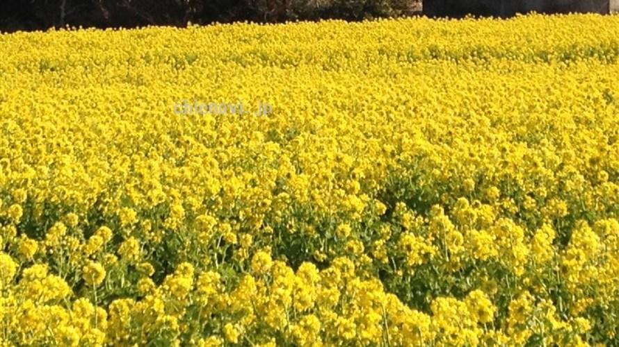 一面の黄色は見ごたえあり!田原、菜の花まつりに行ってきたよ。