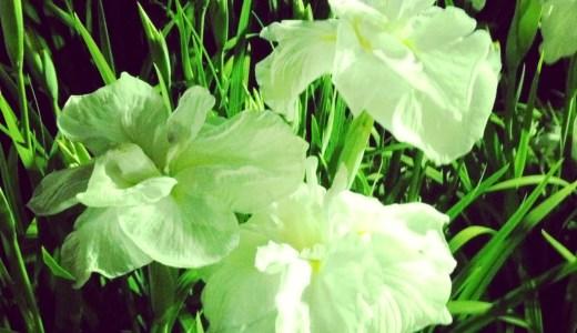 豊橋でライトアップされる賀茂の菖蒲園に行ってきたよ。