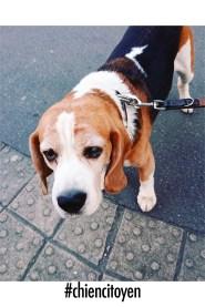 beagleStuart