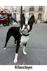 bostonterrierDjali