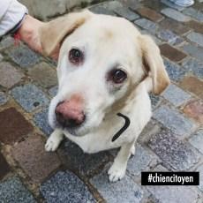 Un labrador dans le centre de Paris