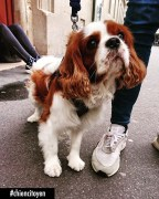 Cookie Cavalier King Charles Paris7