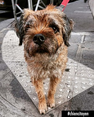 Galipette Border Terrier Paris9