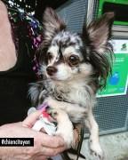 Missy Chihuahua du 12ème arrondissement de Paris