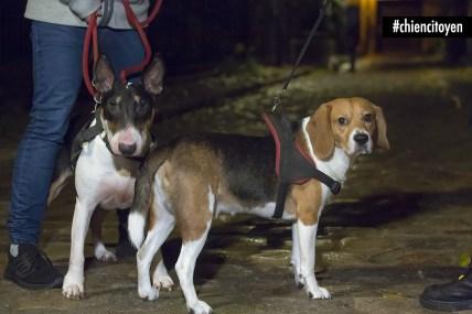 Boo&TravisBullTerrier&BeagleParis14