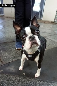 NonoBostonTerrierParis2