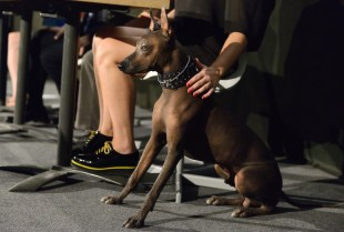 Poppers Sweety Punk (Peruvian Hairless Dog). Photo by Mauricio Alvarez.