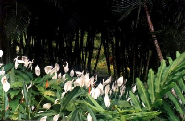 Martinique jardin botanique 1