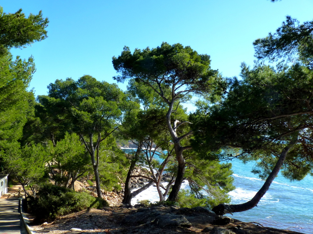 chenilles processionnaires /mimosa / sentier du littoral