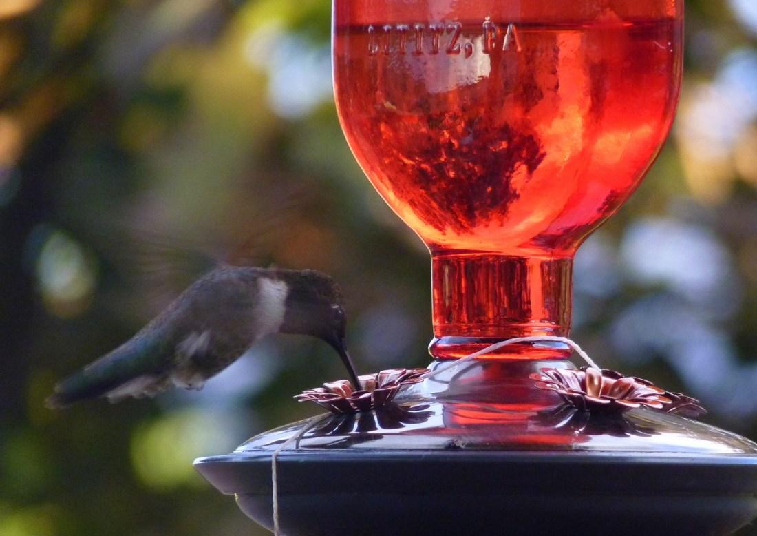 les colibris sont attirés par ces distributeurs d'eau sucrée