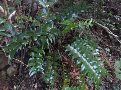 江須崎島植物2