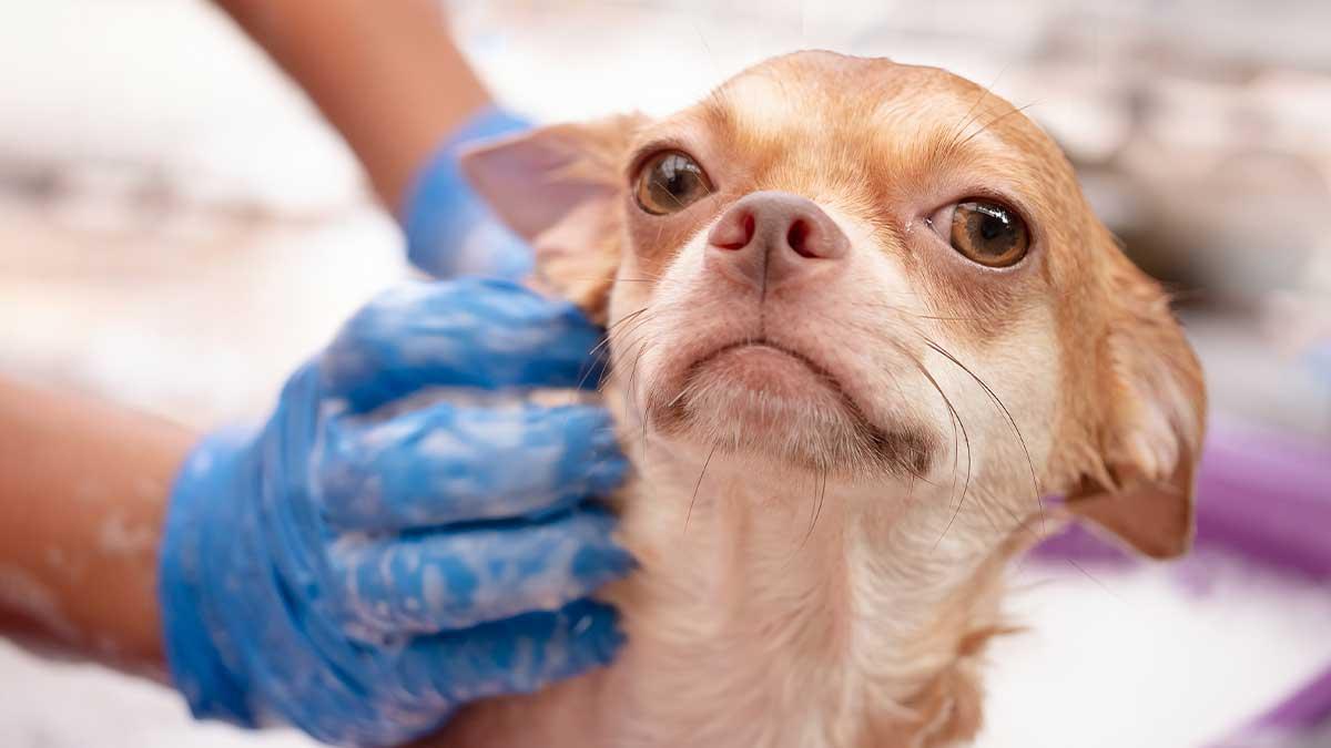 Bathing-a-dog