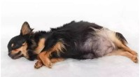 Chihuahua Pregnancy Facts