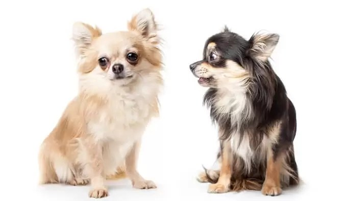 Deer Head Chihuahua have a slightly longer muzzle and a slope where it meets the forehead. Apple Chis have a more round head, with a definite junction where the muzzle meets the forehead.