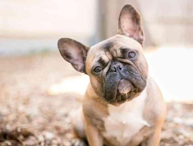 french bull dog cute