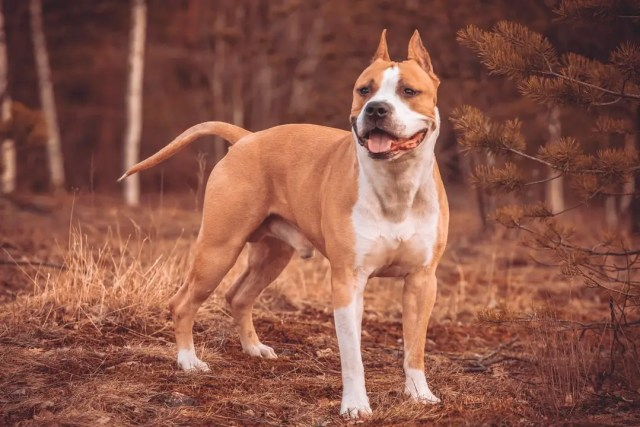 strong american pit bull terrier