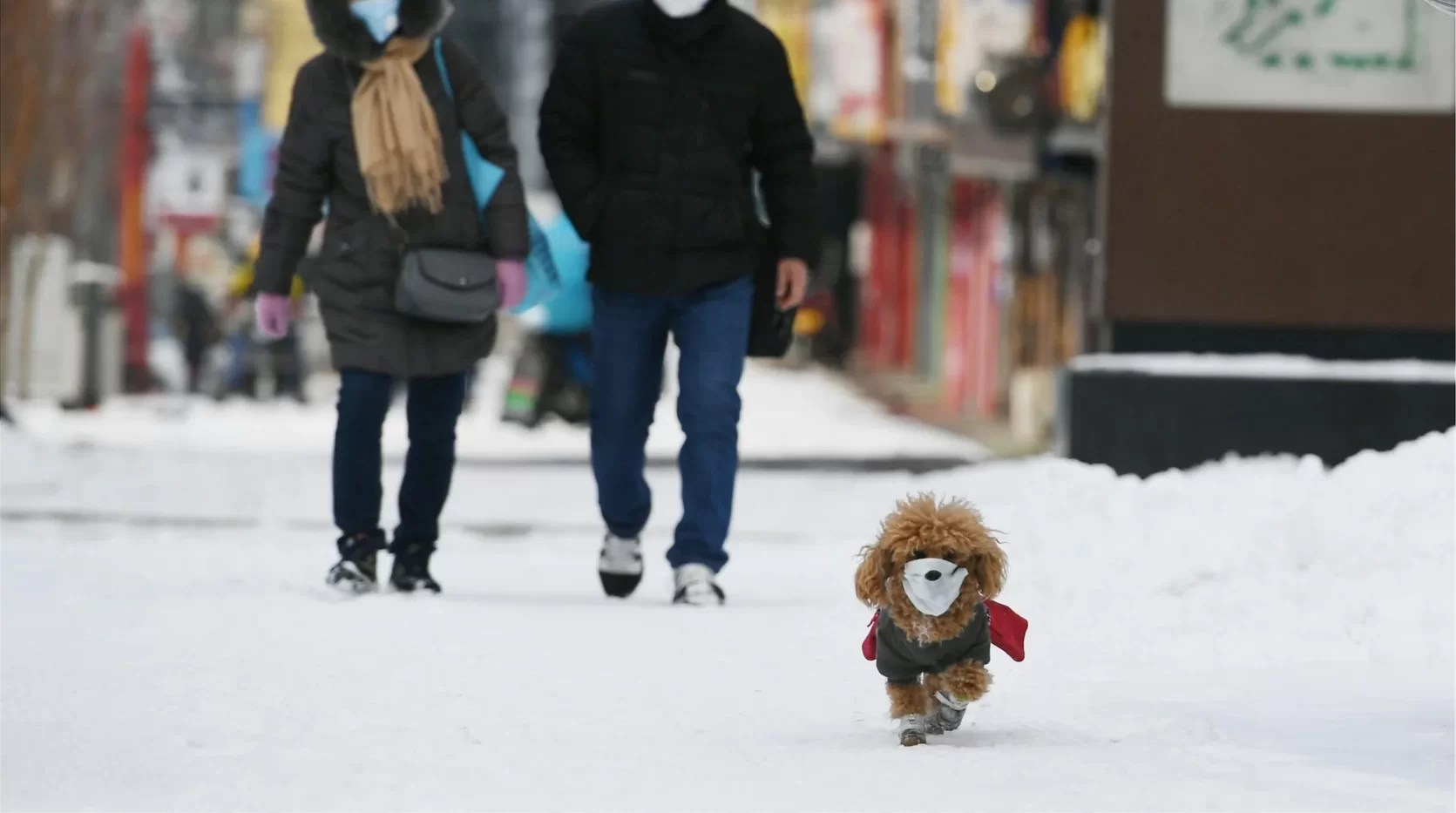 A dog wearing a face mask walks with its owner amid the novel coronavirus outbreak. Image: Getty
