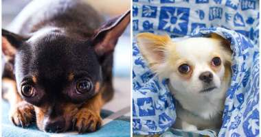 Top FAQ's About Chihuahuas