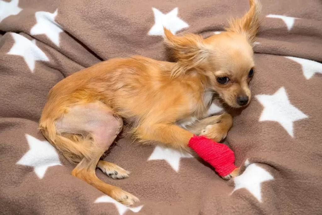 Chihuahua, Sobel, Dog, Grass
