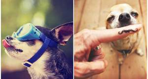 20 Fun Facts About Chihuahuas To Test Your Knowledge