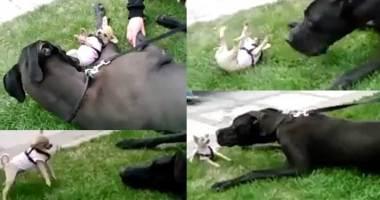 chihuahua-attack-great-dane