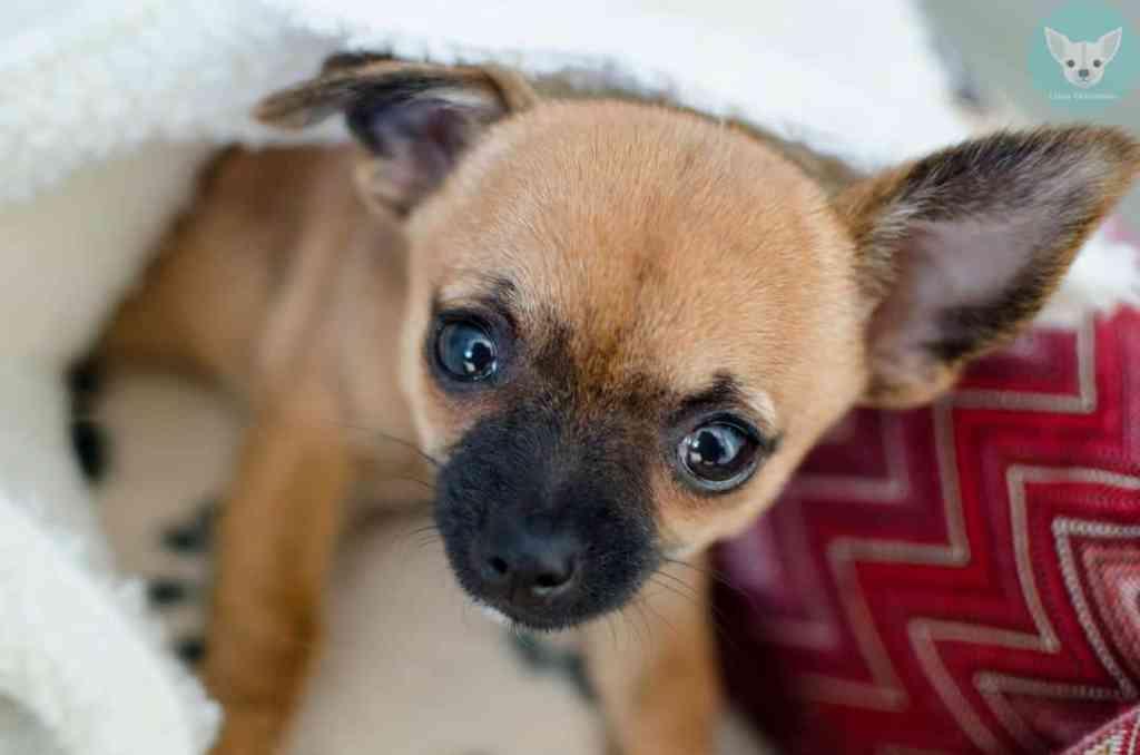 chihuahua cute puppy