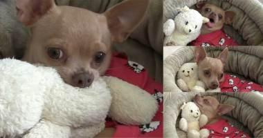 chihuahua-hugs-teddy