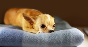 chihuahua lying sad