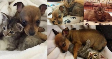 chihuahua-puppy-and-kitten-best-friends-12