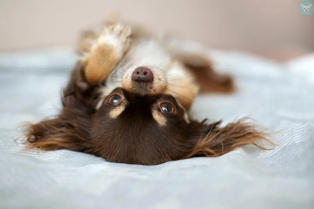 chihuahua upside down on bed
