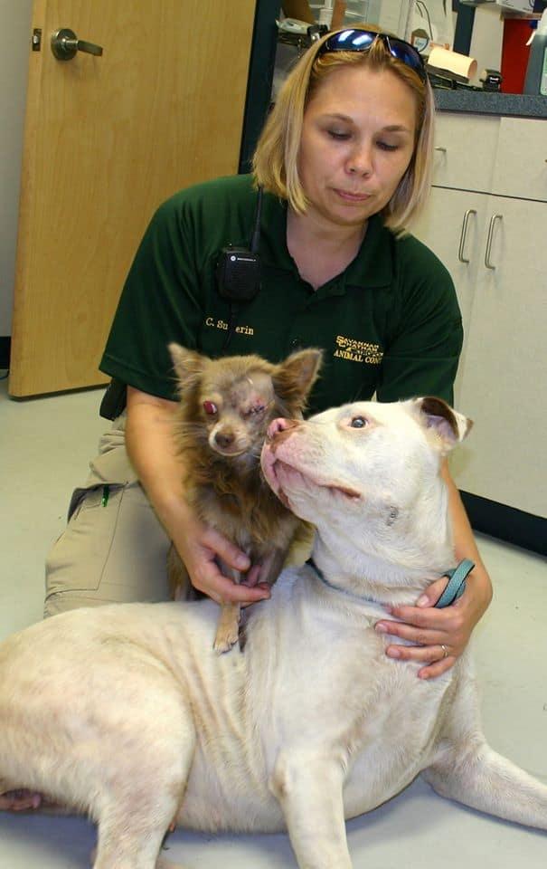 injured chihuahua saved by pitbull