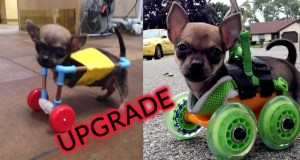 turbo-disabled-chihuahua-move-3-d-printed-doggie-cart