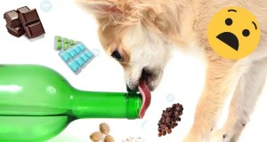 what-foods-chihuahua-should-not-eat