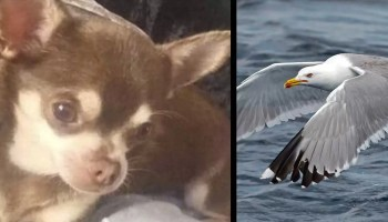 Seagull snatches chihuahua Gizmo from garden