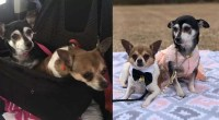 Sweetest-Senior-Dogs-Need-A-Home-Where-They-Can-Stay-Together-Forever