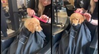 The-good-puppy-went-with-mom-to-the-barbershop-for-a-haircut