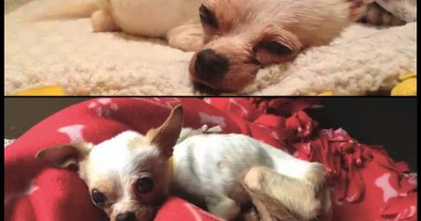 Tiny-Chihuahua-Lemon-joins-a-loving-family-with-a-forever-home!-[VIDEO]